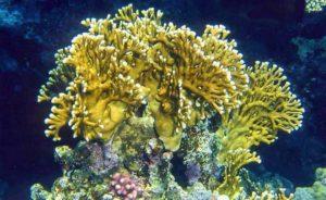 Огненный коралл Millepora