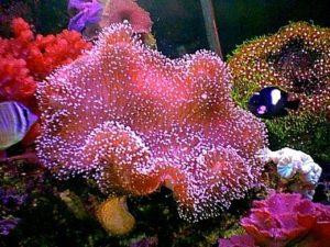 Коралл-саркофитон малинового цвета
