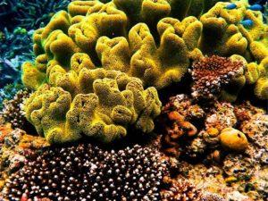 Известковый коралл Turbinaria