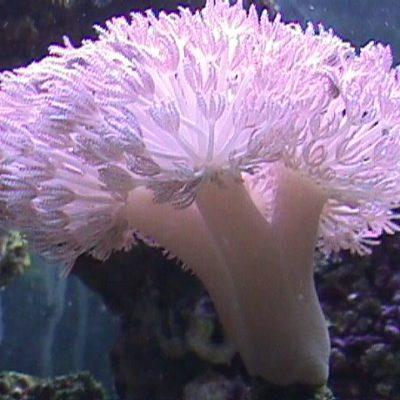Пульсирующий коралл сиреневый