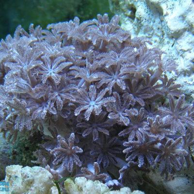Пульсирующий коралл коричневый