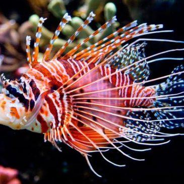 Антенновая рыба-крылатка. Короткое видео