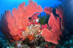Огромная горгонария Subergorgia hicksoni, которая живёт в водах с сильным течением