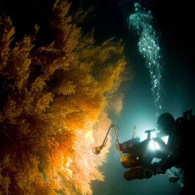 Веерный коралл, который живёт в северных морях. Вид primnoa resedaeformis