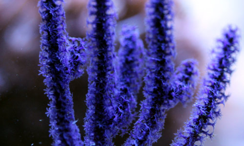 Ветви горгонарии Aqabaria splendens