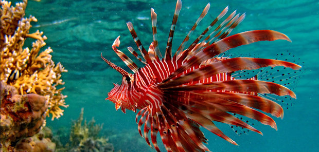 Рыба-крылатка с красными полосами