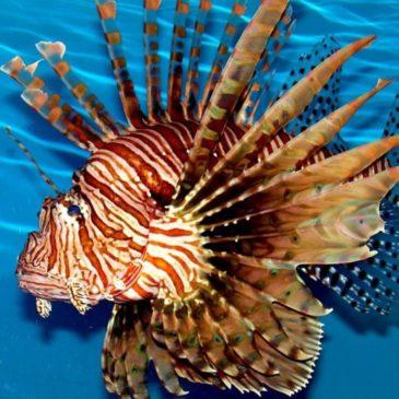 Рыба-крылатка – опасная обитательница Красного моря