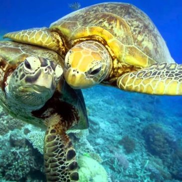 Chelonia mydas – зелёная красавица Красного моря
