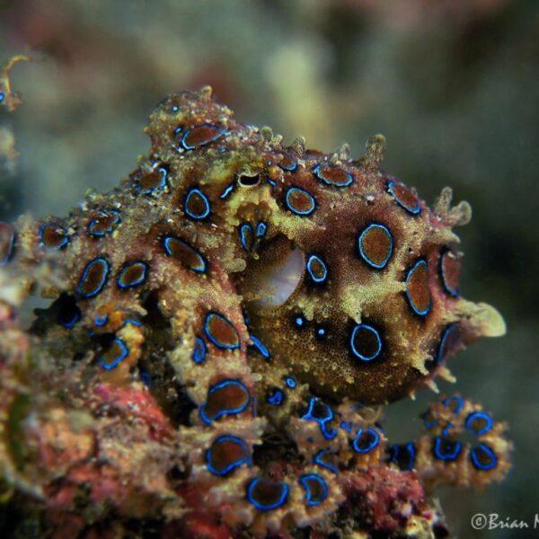 Синекольчатый осьминог в взволнованном состоянии. Фото с pinterest.ru