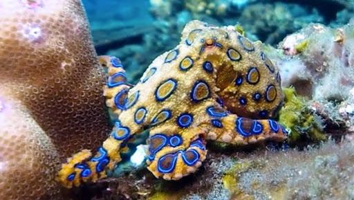 Синекольчатый осьминог – опасный обитатель Индийского океана