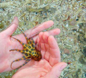Укус синекольчатого осьминога. Фото с сайта elementy.ru