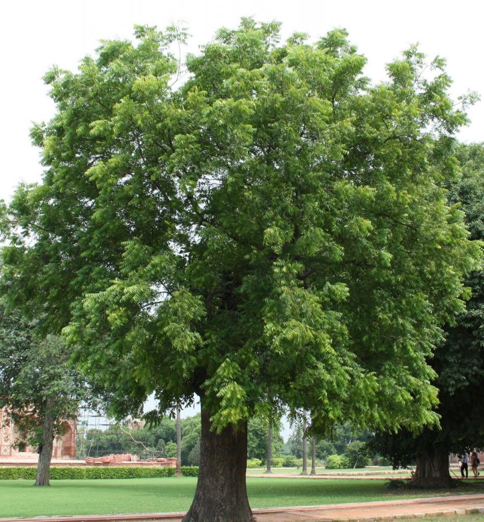 Дерево нима