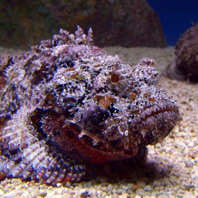 Фиолетовая бородавчатка. Источник  nat-geo.ru