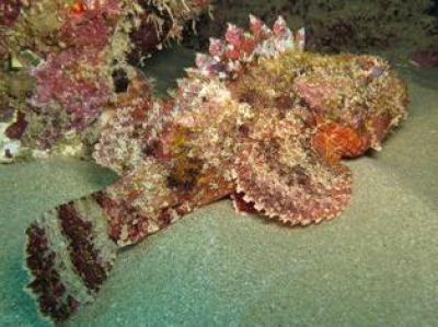 Рыба-камень в аквариуме. Источник  sv.zoo-club.org